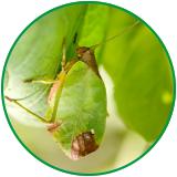 Bug camaflauging as leaf