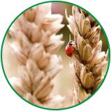 Ladybug on wheat