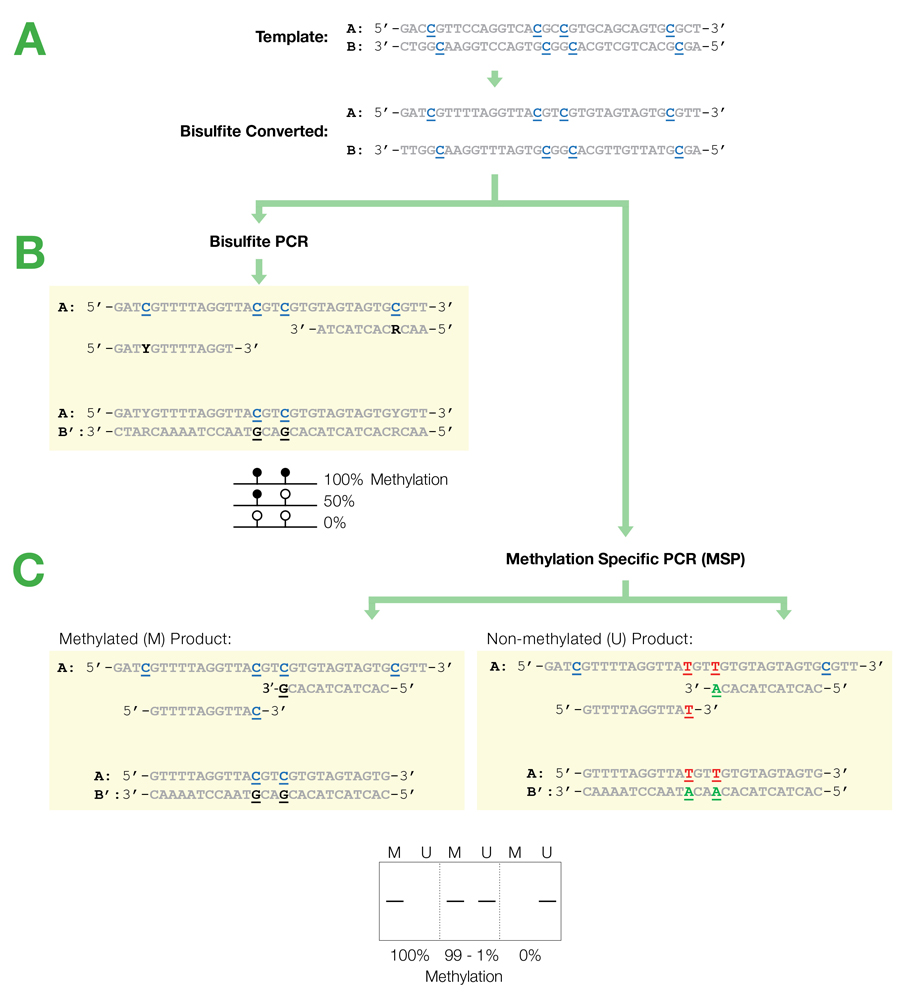 bisulfite pcr and methylation pcr