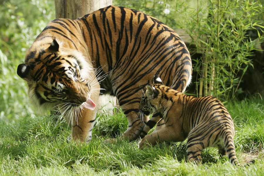 Tiger Playing with its Cub